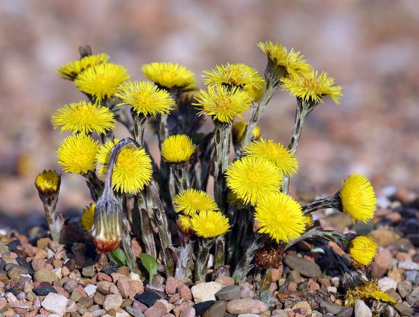 Coltsfoot Herb The Best Remedy For Cough